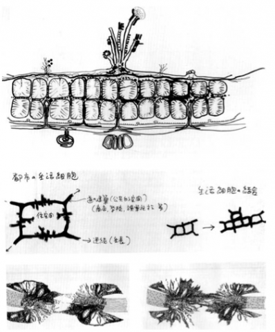 Kisho Kurokawa: studies of mytosis and myosis / urban plan for Japan